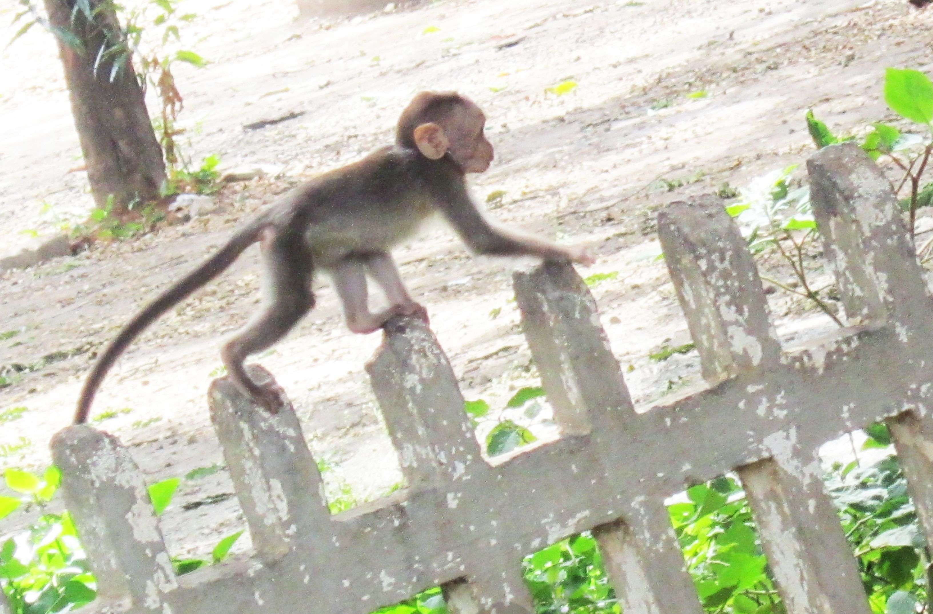 monkey,baby,balance,critters,camera,animal,mammal,ape,primate,lemur,saturday,pravin,phenomenon,pm,throo da looking glass,bangalore blog